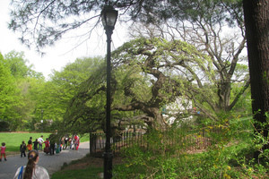Campderdown Elm