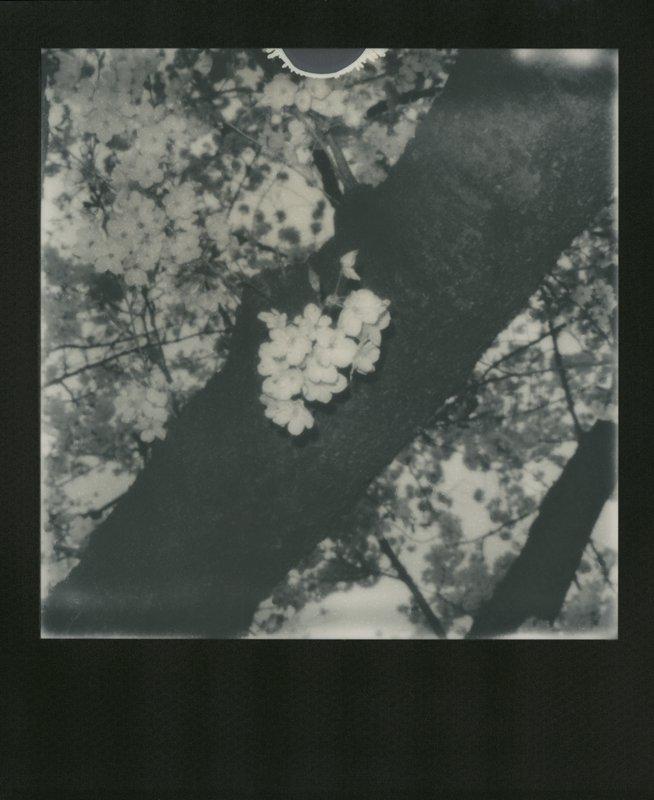 Nobuyoshi Araki | Sakura polaroids | Hanami in Tokyo